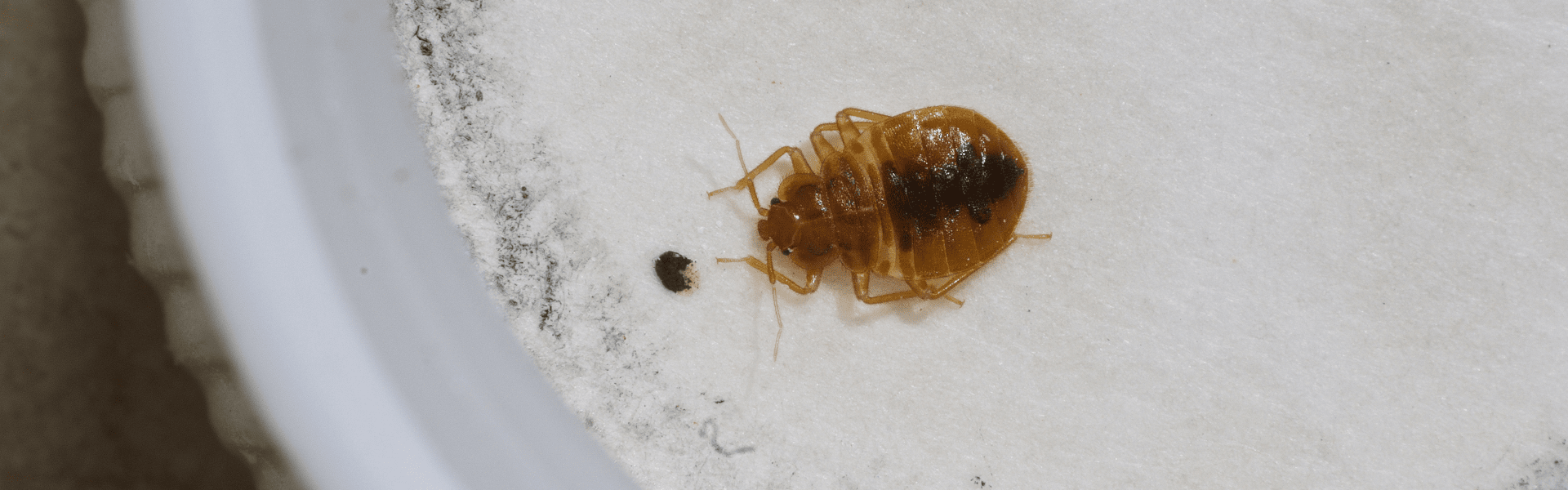 bed bug and fecal matter