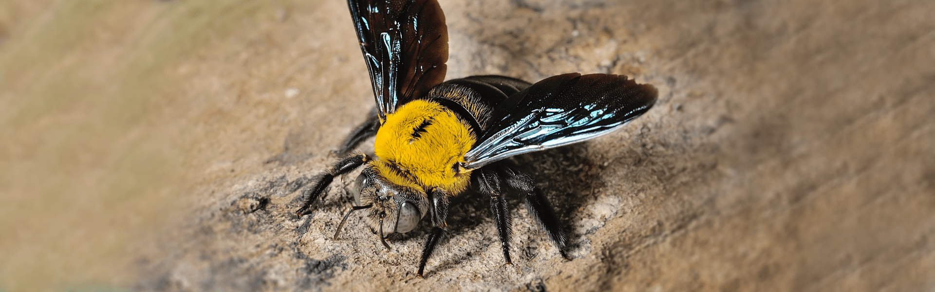 carpenter bee resting on wood surface