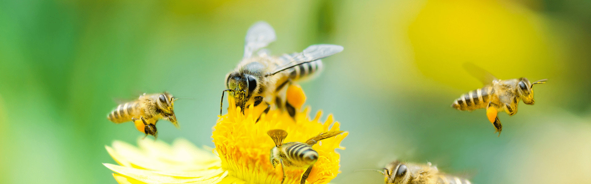 honey bees on a flower