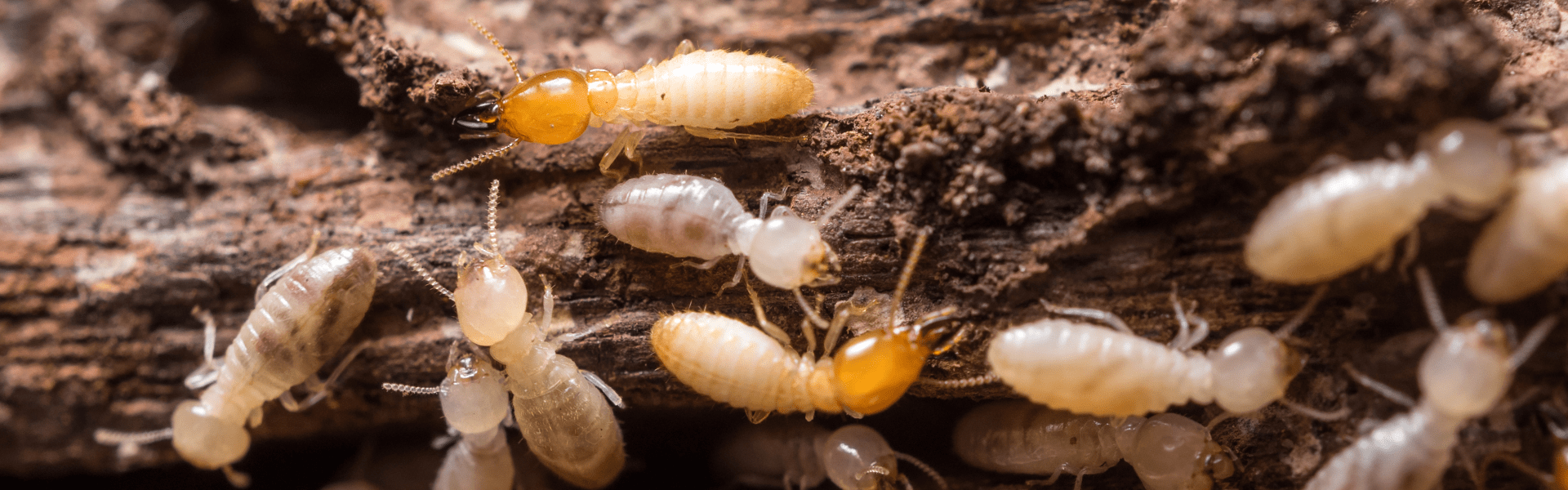termite workers foraging for food