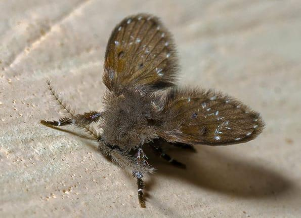 moth fly in louisvile kitchen