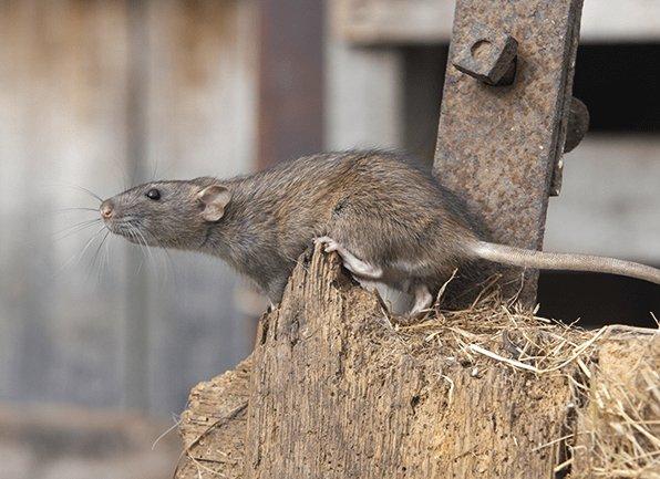 norway rat outside grain store