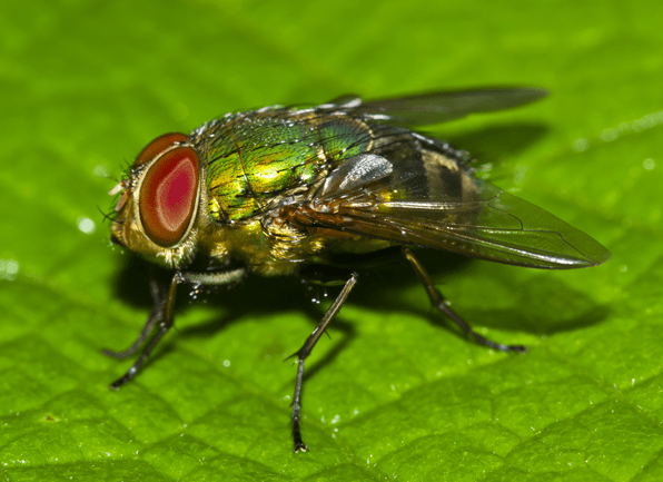 a blow fly perched on a leaf outside of a home in lexington kentucky