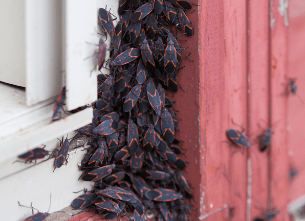 a swarm of box elder bugs outside of a home in louisville kentucky