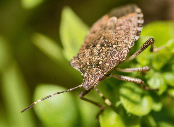 a brown marmorated stink bug crawling outside of a home in owensboro kentucky