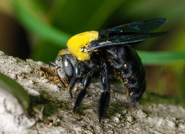 a carpenter bee flying outside of a home in mount vernon indiana