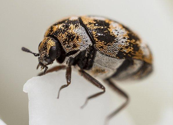a carpet beetle inside of a home in owensville indiana