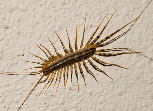 a centipede crawling on an interior wall inside of a home in princeton indiana
