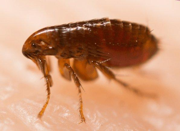 a flea crawling on the skin of a local homeowner in new harmony indiana
