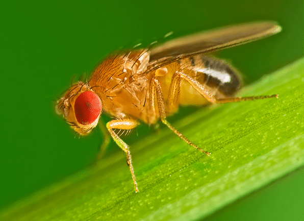 a small fruit fly perched on a blade of grass outside of a home in paoli indiana