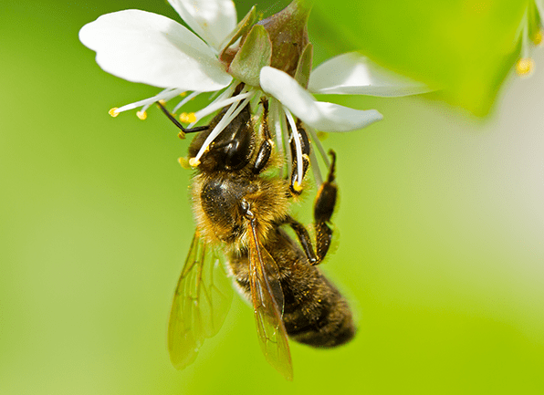 a honey bee eating the nectar from a flower outside of a home in beech grove indiana