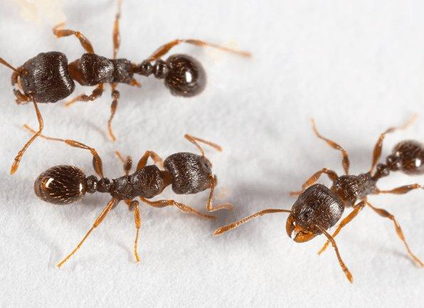 several pavement ants crawling on a surface inside of a home in lawrence indiana