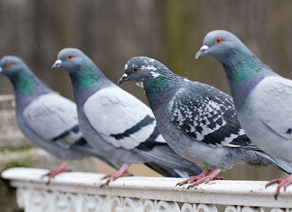 a flock of pigeons perched outside of a home in alfordsville indiana