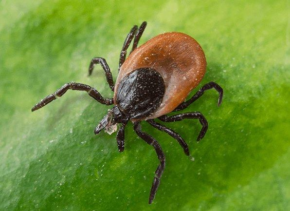 a deer tick crawling on a leaf outside of a home in allendale indiana