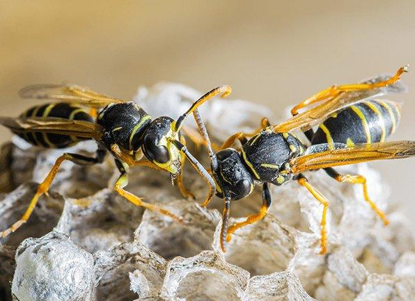 several wasps building a nest outside of a home in cynthiana kentucky