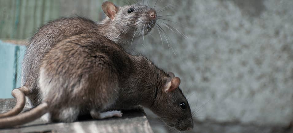 rats on table inside home