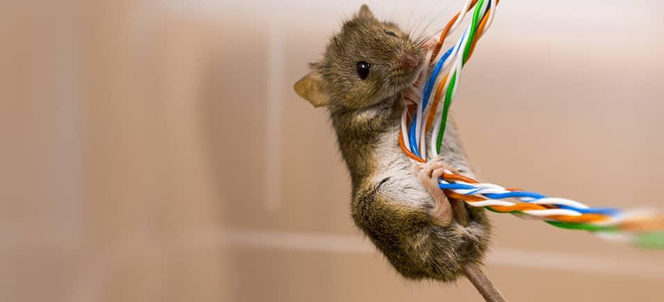 mouse chewing on wires