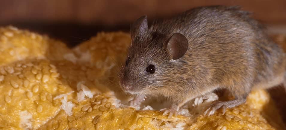 mouse crawling on food