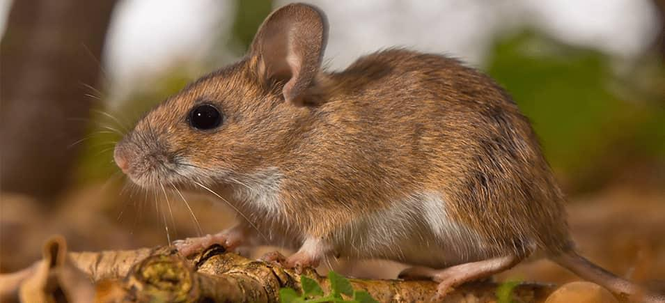 mouse on forest floor