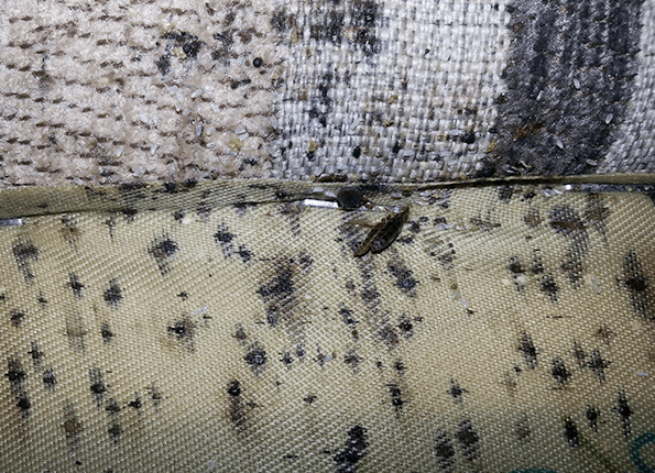 bed bugs and bed bug droppings on mattress