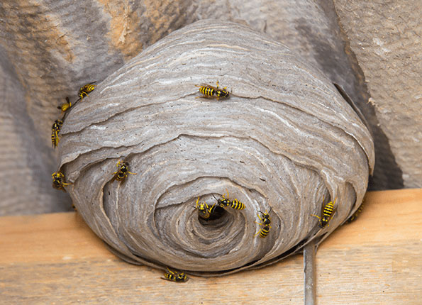 wasp nest in Indiana