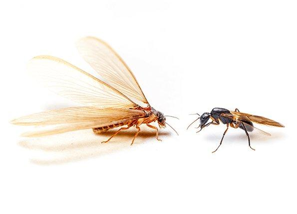 flying termite and winged carpenter ant comparison