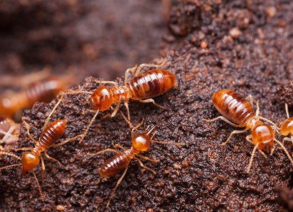 termites in terre haute