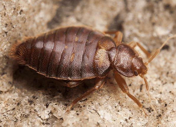 up close look at an adult bed bug
