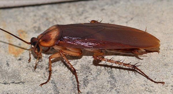 an american cockroach inside a home