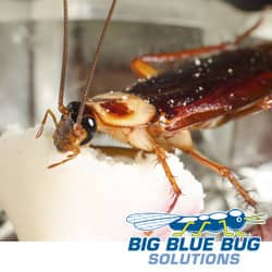 american cockroach in a farmingham home