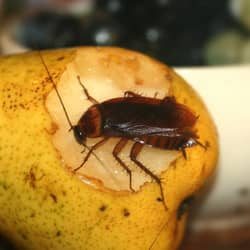 american cockroach found on a piece of fruit