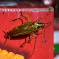 american cockroach found in a pantry