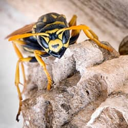 yellow jacket in its nest