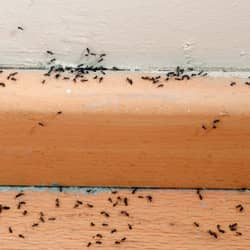 image of ants on baseboards of a worcester home