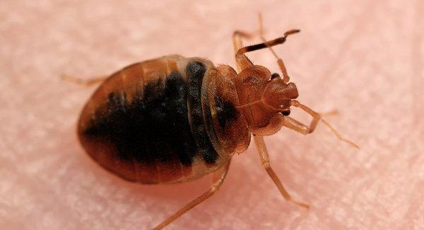 a bed bug biting on human skin