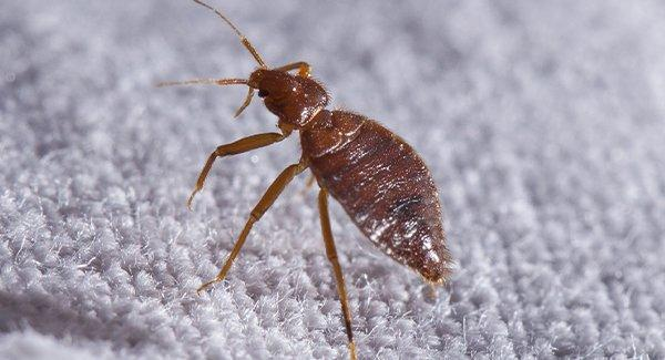 a bed bug in sheets
