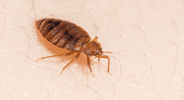 bed bug crawling on skin