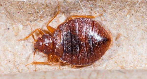 close up view of a bed bug on a blanket