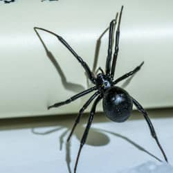 black widow spider in basement