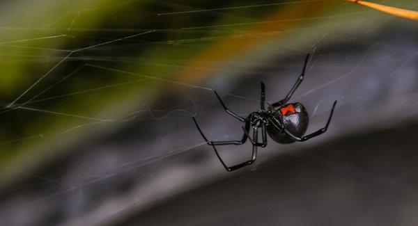 a black wodow spider on a window ledge