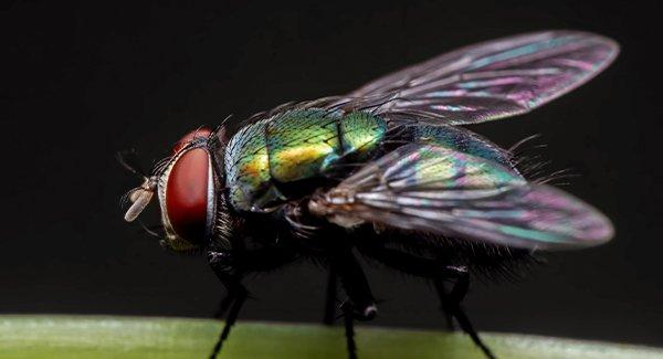 blow fly up close