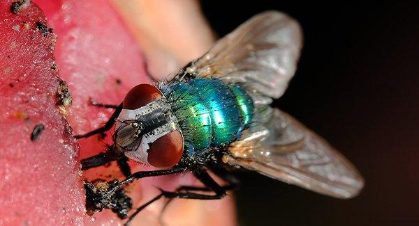 a blow fly on a piece of meat