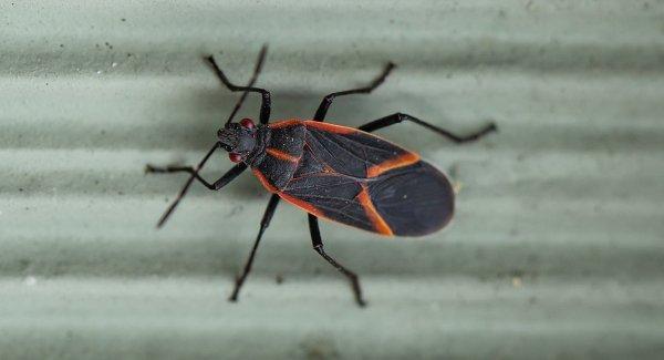 a boxelder bug on a wall