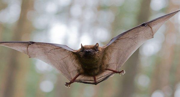 a brown bat flying