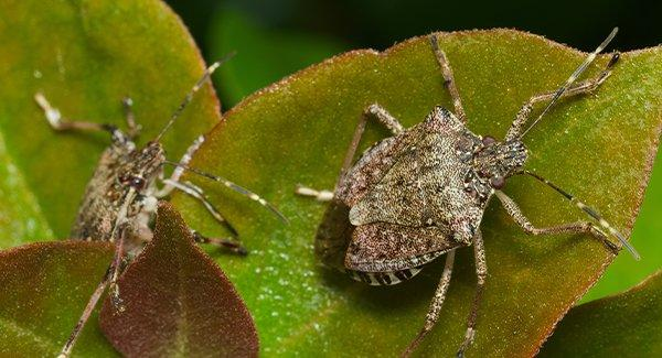 brown stink bugs on garden plants