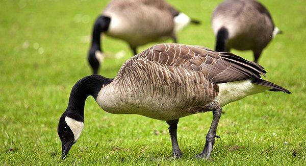 canadian geese on a lawn