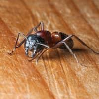 carpenter ant inside home