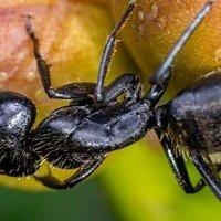a carpenter ant crawling on flower bugs