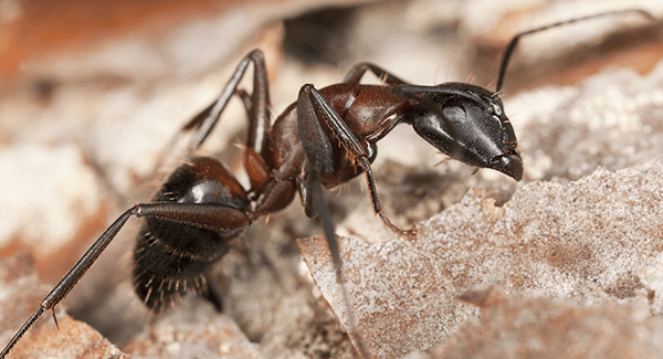 carpenter ant up close in Augusta