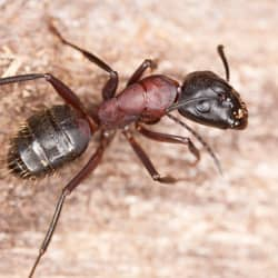 carpenter ant outside a MA home